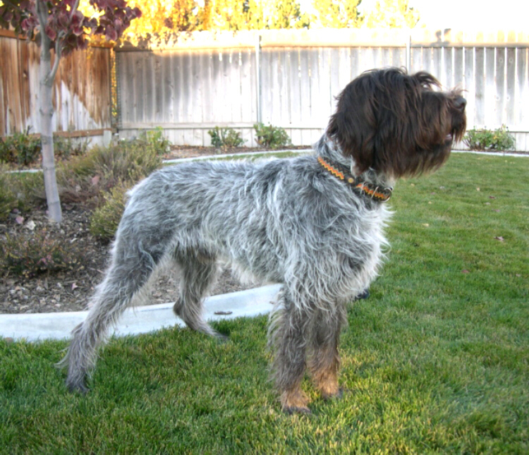 Wirehaired Pointing Griffon Broadway