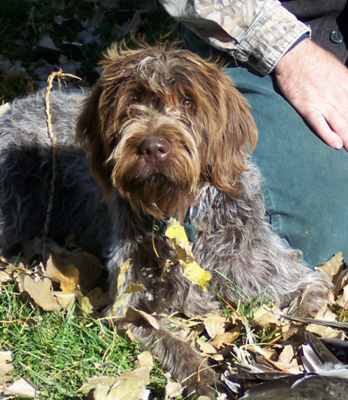 Wirehaired Pointing Griffon Yzabelle from Lou and Gifford's first litter in '07